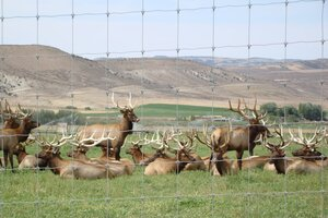 A nice looking herd of Alberta Ranched Elk