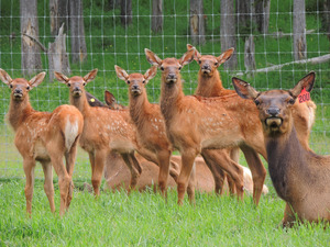 A sweet little herd of young Alberta Ranched Elk