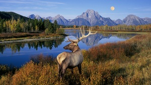 Alberta Ranched Elk - Rocky Mountains