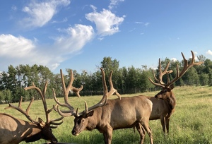 Alberta Ranched Elk - enjoying the day