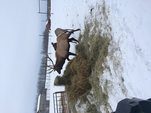 Alberta Ranched Elk - getting fed in an Alberta winter