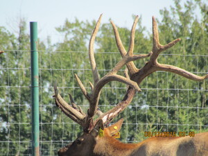 Alberta Ranched Elk - look at that rack