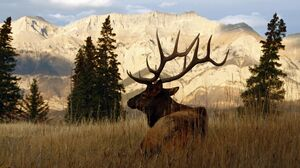 Alberta Ranched Elk in shadow