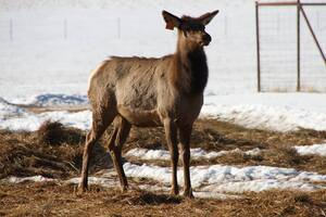 An Alberta Ranched Elk playing in the snow