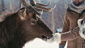 An Alberta Ranched Elk taking some snacks