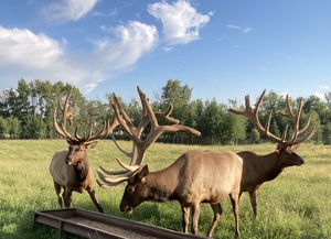 Feeding the Alberta Ranched Elk