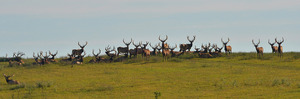 Quite the image of an Alberta Ranched Elk herd