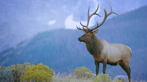 The Majestic Elk